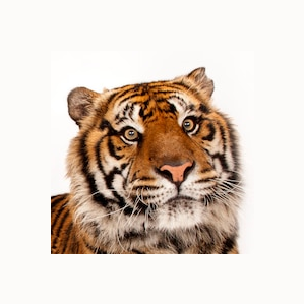 tiger padded